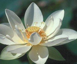 flor-loto